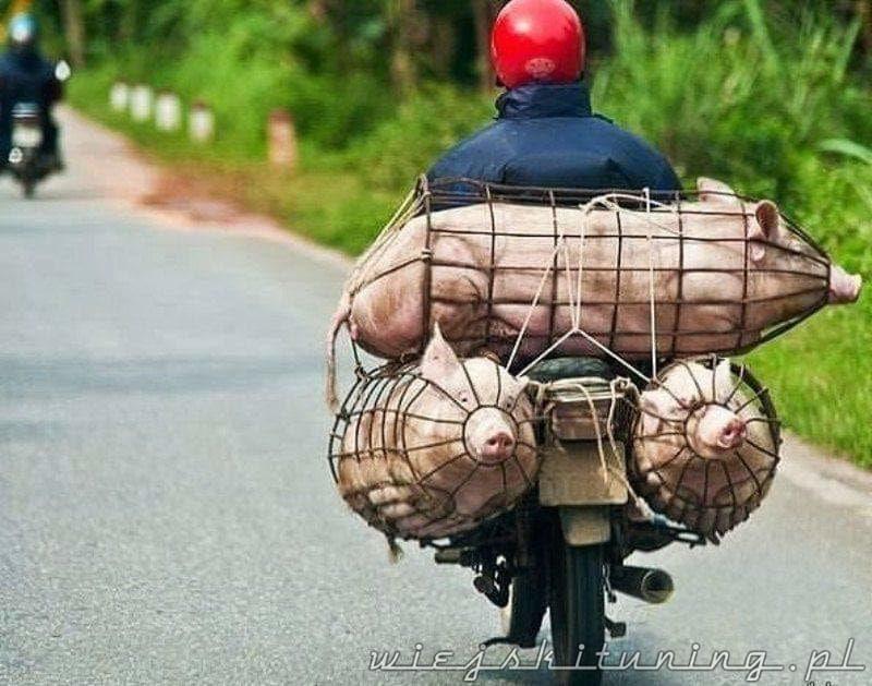 wiejskie życie świnie skuter